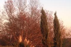 cyprès à l'automne