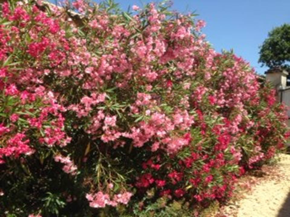 Un jardin exotique de bord de mer les jardins de phocas for Quand rempoter un laurier rose