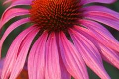 echinacea rose
