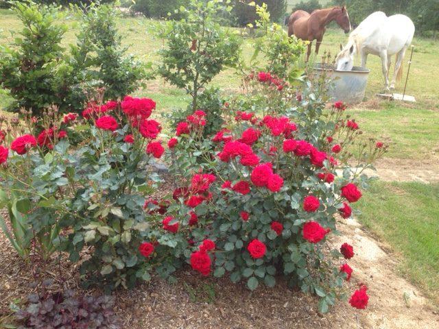 sp cial rosiers les jardins de phocas. Black Bedroom Furniture Sets. Home Design Ideas