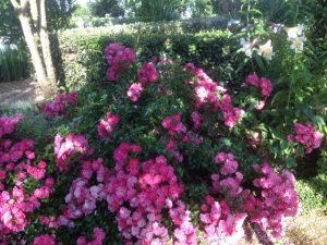 un jardin rose